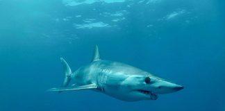 Mako shark image taken from Nakawe Project.